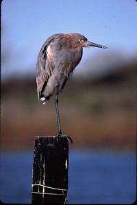 This Reddish Egret is resting on a pole in Port Bolivar, TX where numerous shorebirs can be found.