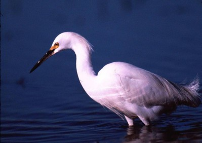 This Snowy Egret is fishing in Shovler Pond in Brazoria National Wildlife Refuge.