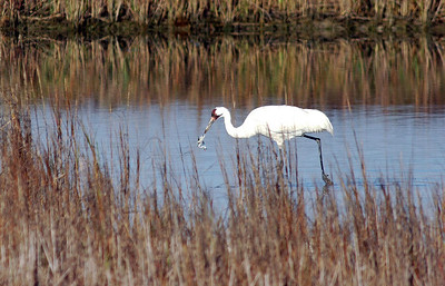 """This Whooping Crane is about to devour its favorite meal, a Blue Crab.  The blue crabs are why the Whooping Cranes come to Aransas NWR every fall.  This photo was taken from the boat """"Skimmer"""" Rockport Adventures.  It is an excellent way to see the Whoopers up close.  I highly recommended it."""