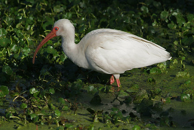 This White Ibis was feeding along the 40 acre lake trail in Brazos Bend State Park.