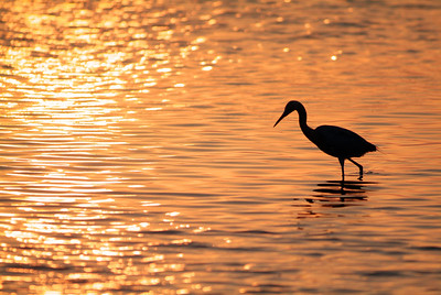 Tricolored Heron at sunset