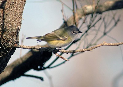 "This Blue-headed Vireo was photographed in Brazos Bend State Park.  He is distinguished by his ""blue"" head and white eye-ring."