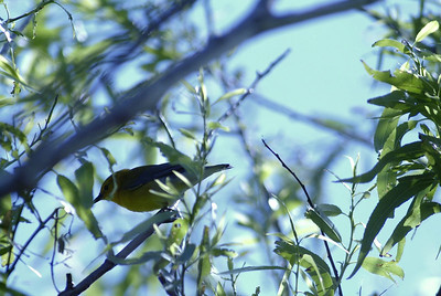 This Blue-winged Warbler stayed hidden in the brush and would not let me get a good photograph of him.  Sabine Woods, TOS Preserve
