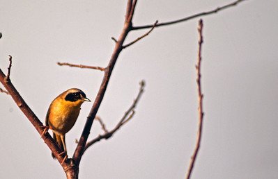 After singing his songs the little Yellowthroat took one look at me and the big lens and flew off.