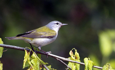 Tennesse Warbler, photographed at Sabine Woods TOS