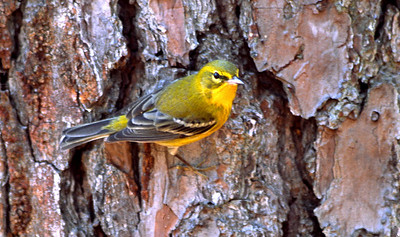 Pine Warbler photographed in Bear Creek Park