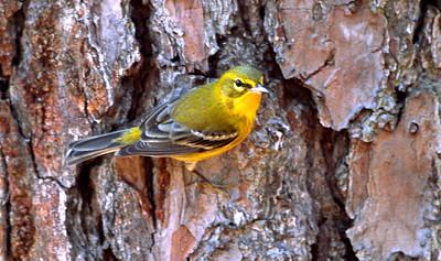 Pine Warbler photographed in Bear Creek Park