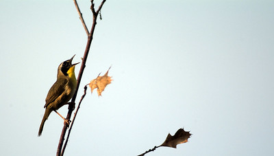 This Common Yellowthroat was singing about his territory in the Smith Oaks area at the H.A.S. Sanctuary.