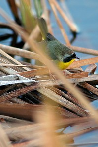 These little warblers are often found around water.  This Common Yellowthroat was photographed in Brazoria National Wildlife Refuge.