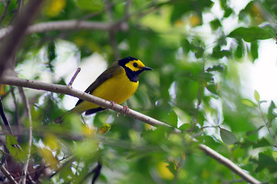 This Hooded Warbler was photographed in the Edith L. Moore Sanctuary, Houston Audubon Society.