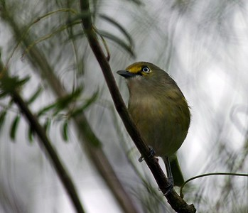 """After taking this photo I see why they named this little guy a """"White-eyed Vireo"""".  His song is unique and you will hear it in the spring.  This photograph was taken at High Island, HAS-Boy Scout Woods."""