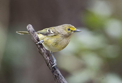 White-eyed Vireo photographed in Brazos Bend State Park.