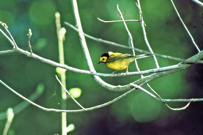 This Hooded Warbler was photographed at the Edith L. Moore Sanctuary, Houston Audubon Society.