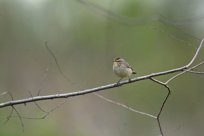This Palm Warbler was exactly where I thought I would find him, next to a prairie marsh.  I drove to the Attwater Prairie Chicken NWR near Eagle Lake, TX looking for this little fella.  I had all but given up when this guy landed on this tree limb in front of me.  My three year search was over!  Palm Warbler.