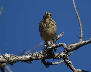 Northern Waterthrush photographed in Brazos Bend State Park
