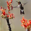 Broad-tailed Hummingbird 6478