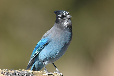 This Stellar's Jay was a constant visitor to a friend's home in Creede, Colorado.