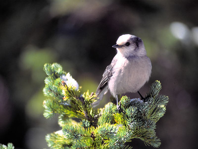 "The Gray Jay is also known as ""Camp Robber bird"".  It is a western jay that seeks out campsites for handouts.  This one landed so close I had to back up to photograph him."