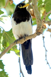 A stop at a Highway Rest Stop on US Hwy 1 near Big Sur, California, a Yellow-billed Magpie was perched in a low branched tree.  This was a rare find for me on this day of birding.