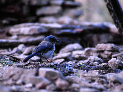 Scrub Jay photograhed in Davis Mountains State Park