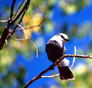 Gray Jay in aspen tree