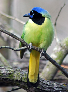 Green Jay photographed in Bentsen-Rio Grande River State Park.