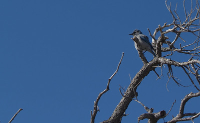 Western Scrub Jay photographed at the Grand Canyon.  This jay and the Stellars Jay were seen along the south rim.