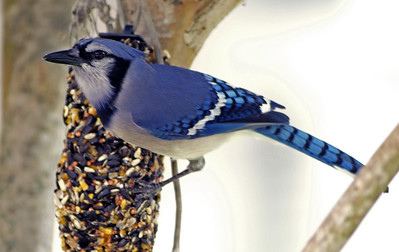 This Blue Jay was munching on my feeder as I drove up.  I took this photo out of the passenger side window.