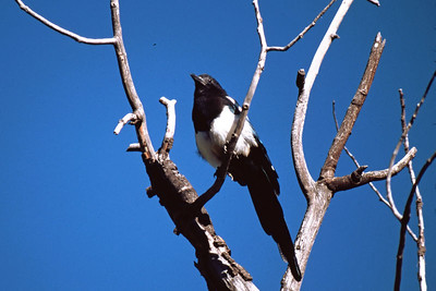 The Black-billed Magpie is seen through out the west often in small groups.  This photographed was taken at a rest stop just east of South Fork, Colorado.
