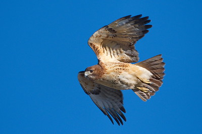 Katy Prairie Hawks & Other Raptors