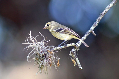 Another Ruby-crowned Kinglet.