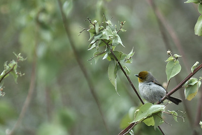 Verdin photographed in Choke Canyon State Park