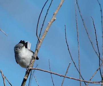 Blue-Gray Gnatcatcher, photo taken in Brazos Bend State Park