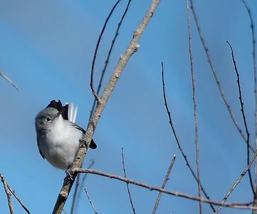 Blue-Gray Gnatcatcher, photo taken in Brazos Bend State Park