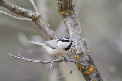Mountain Chickadee at the Grand Canyon NP