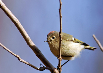 This little Ruby-crowned Kinglet often hides his red cap from birders.  He is easily identified by his size, wing bars, bill and incessant movement.