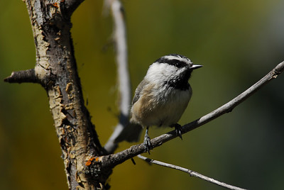 Kinglets, Chickadees, Titmice & Gnatcatchers
