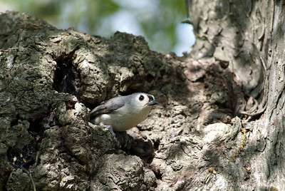 Black-crested Titmouse photographed in Brazos Bend State Park