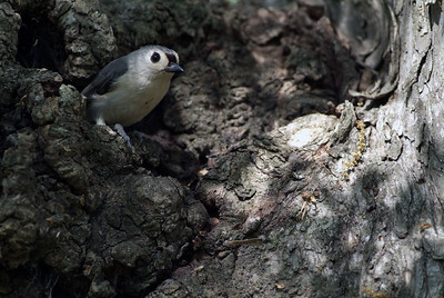 This Black-crested Titmouse and his mate were busy building a nest in the cavity of this tree in Brazos Bend State Park.