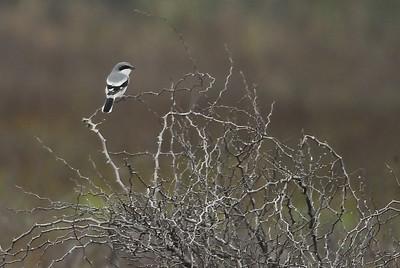 Loggerhead Shrike in Attwater NWR