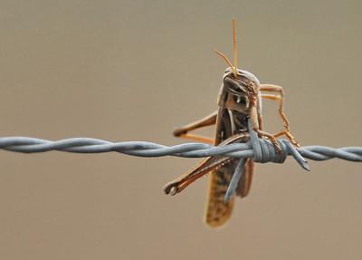 Another grasshopper