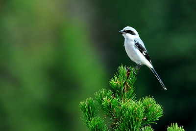 Northern Shrike in Breckenridge, CO