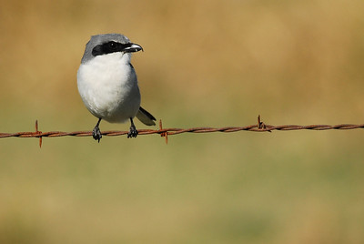 One of two Loggerhead Shrikes nesting at Pattison & Patterson in the Katy prairie