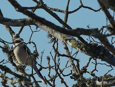 Male Loggerhead Shrike with a branch in his beak