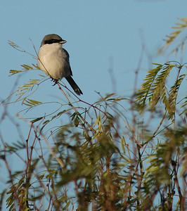 """Shrikes are fierce, predatory birds.  They feed primarily on insects but they will kill smaller birds such as warblers.  When you see an insect or lizzard impailed on a barbed wire fence this is the work of the """"butcher bird"""".  This is a Loggerhead Shrike photographed on the Attwater Prairie Chicken NWR."""