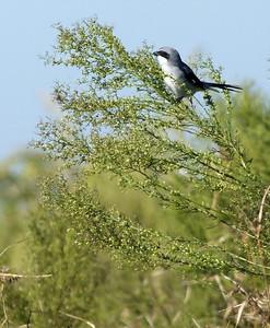 Loggerhead Shrike photographed in Brazoria NWR