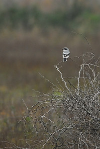 Loggerhead Shrike in Attwater NWR Loggerhead shrikes are often mistakened for Northern mockingbirds because both birds are grey/black/white and they are often seen in the same locations.  Loggerheads had a distictive black mask around their eyes.