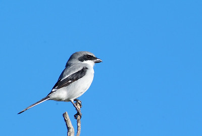 Loggerhead Shrike photographed on the Katy prairie