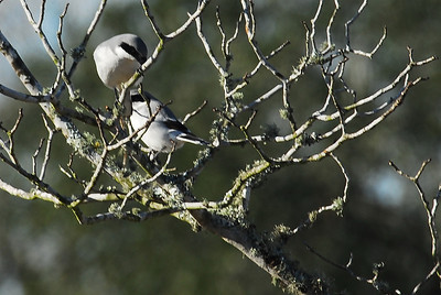 """I found this pair of Loggerhead Shrikes in the Katy prairie engaging in """"nesting behavior"""".  The male with the stick in his beak presented it to the female.  She took the branch and gave it back to the male and then he flew to a large yupon bush and disappeared."""