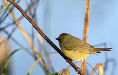 Orange-crowned Warbler photographed in Brazos Bend State Park